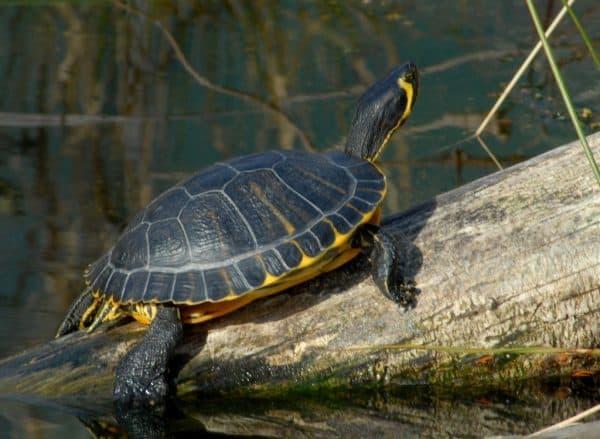 Красноухая черепаха Scripta Scripta