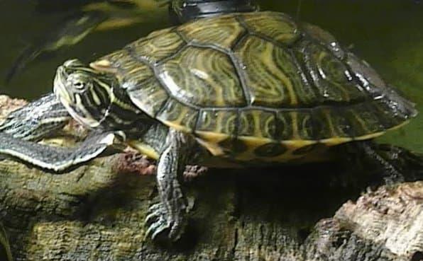 Красноухая черепаха Scripta Troostii
