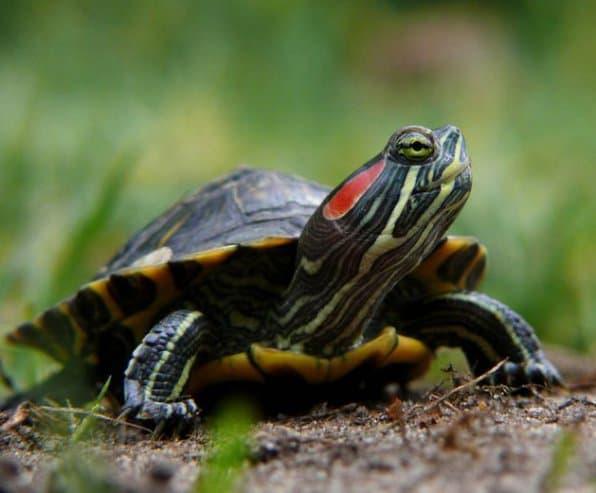 Красноухая черепаха элегантная