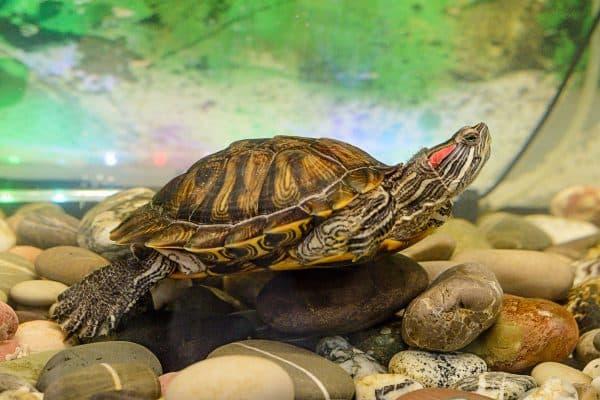 Красноухая черепаха описание