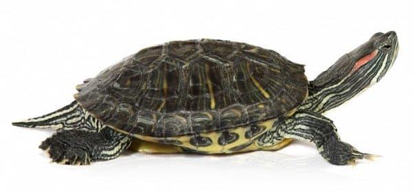 Красноухая черепаха. Содержание, фото, видео, совместимость и разведение.