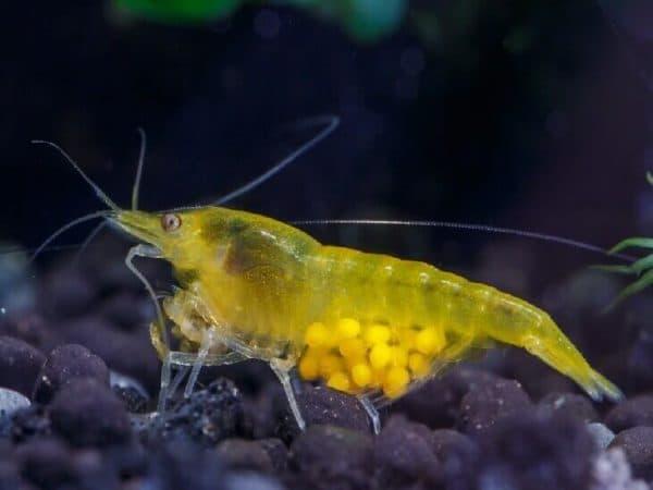 Креветка аквариумная