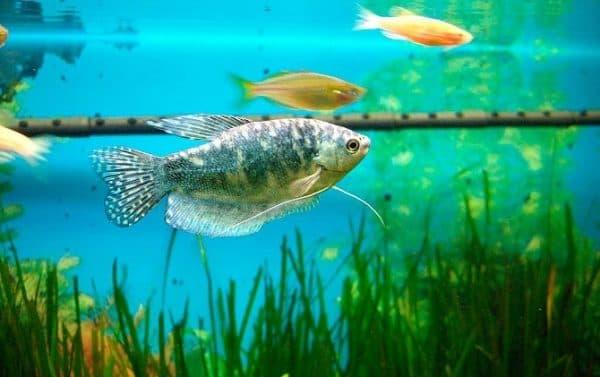 Мраморный гурами в аквариуме