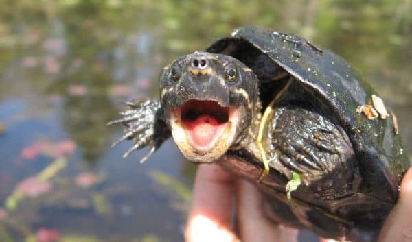 Мускусная черепаха читайте статью