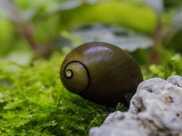 Оливковая неретина