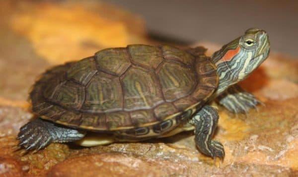 Определение возраста красноухой черепахи