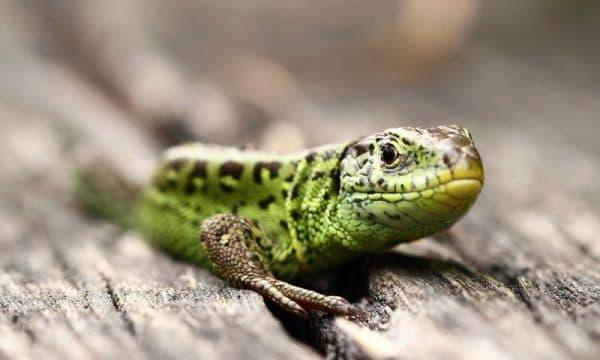 Прыткая ящерица фото