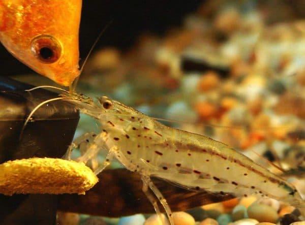 Размножение креветок Амано