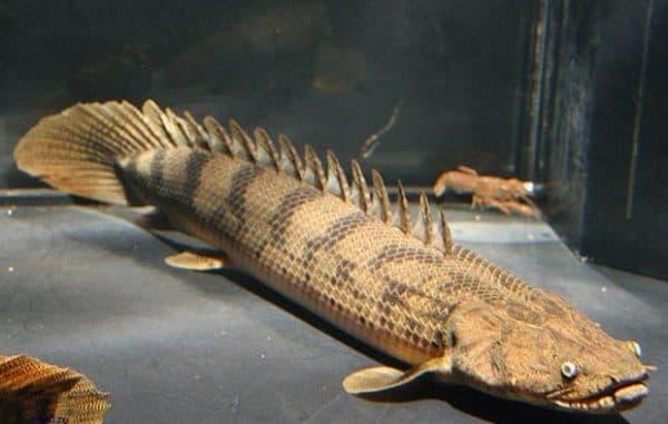 Рыбка полиптерус сенегальский