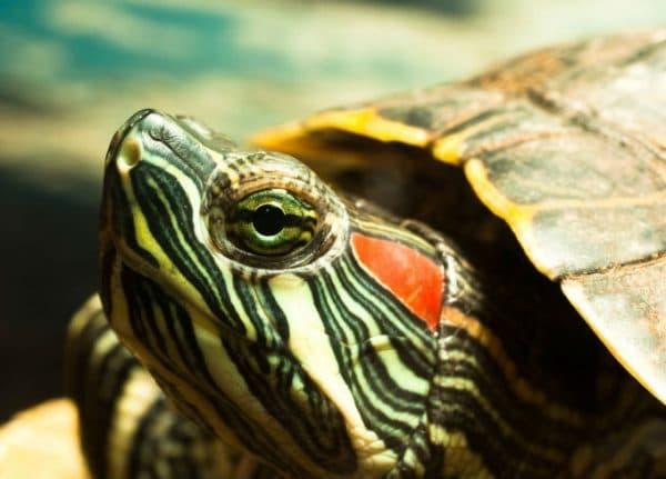 Сколько живут черепахи в домашних условиях читайте статью