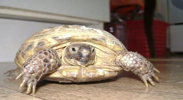 Среднеазиатская черепаха, или степная черепаха