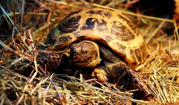 Среднеазиатская черепашка. Содержание, фото, питание, описание и разведение.