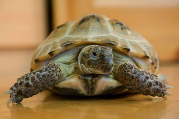 Удивительная среднеазиатская черепаха