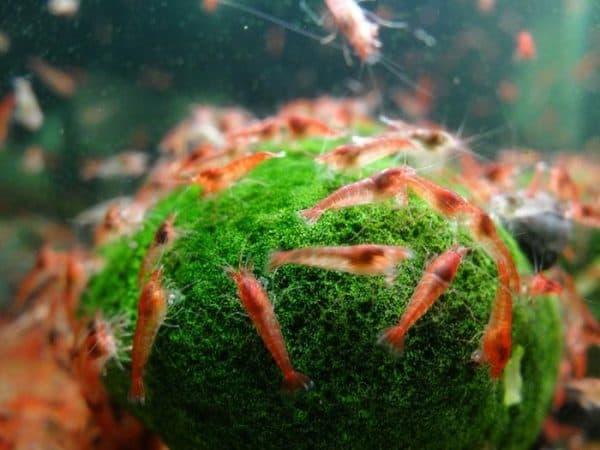 Удивительные аквариумные креветки