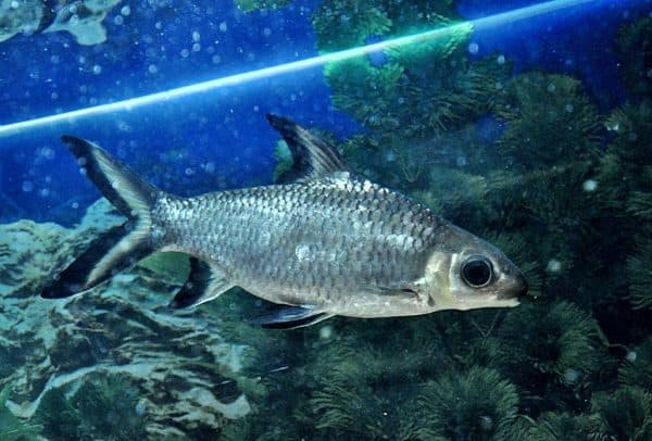 Акулий балу прекрасная рыбка