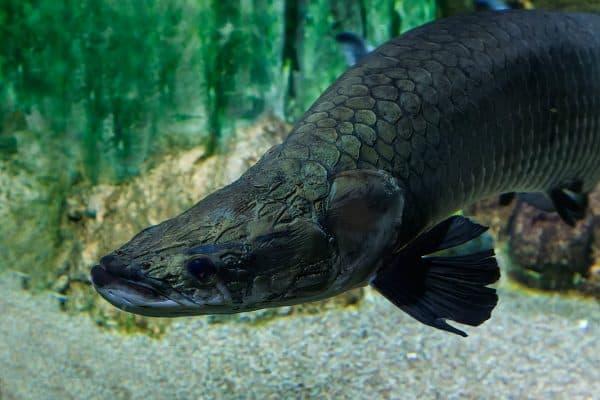 Арапайма рыбка фото
