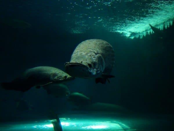 Арапайма удивительная рыбка