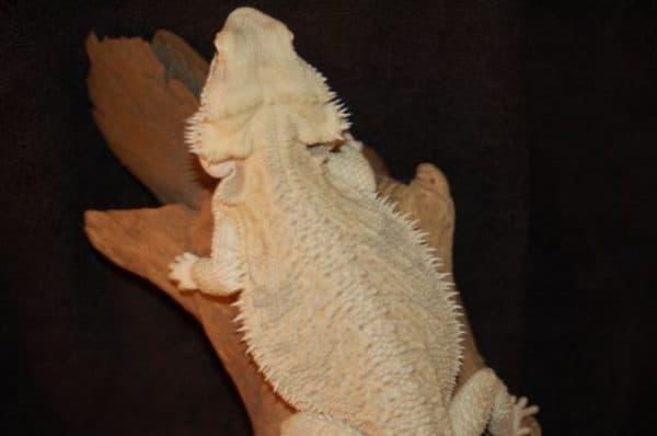 Бородатая агама Leucistic