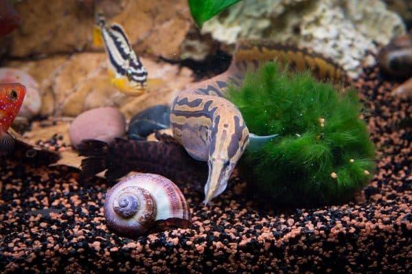 Мастацембел арматус в аквариуме