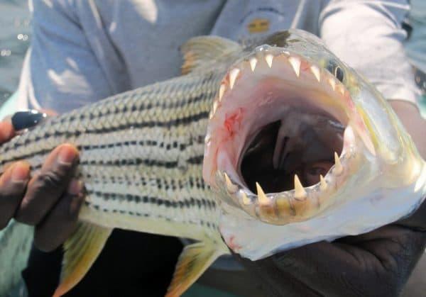 Монстр из Африки - Тигровая рыба Голиаф