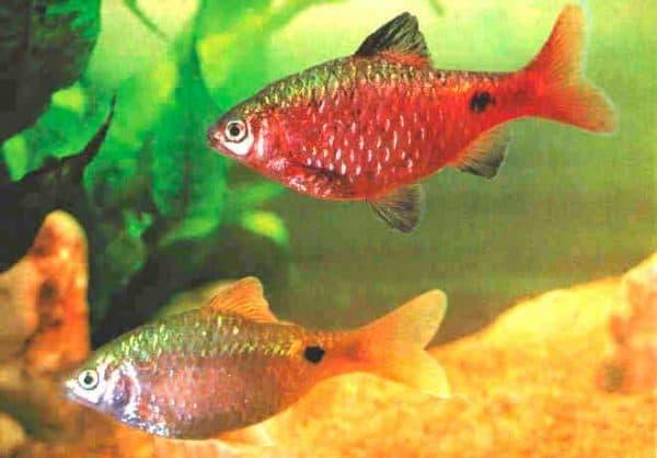 Огненный барбус. Содержание, фото рыбки, видео, совместимость и разведение.