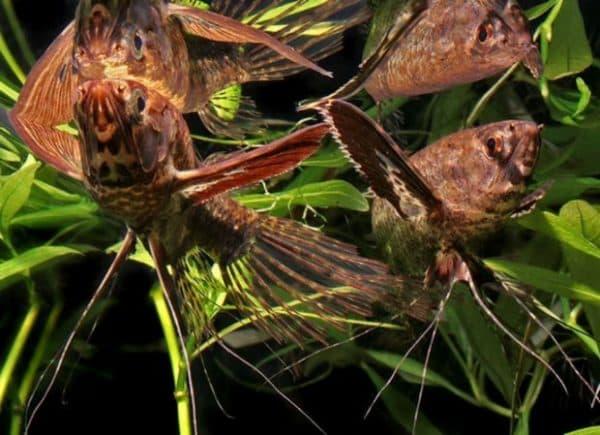 Пантодон аквариумная красивая рыбка бабочка