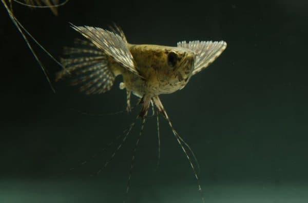 Пантодон аквариумная рыбка бабочка