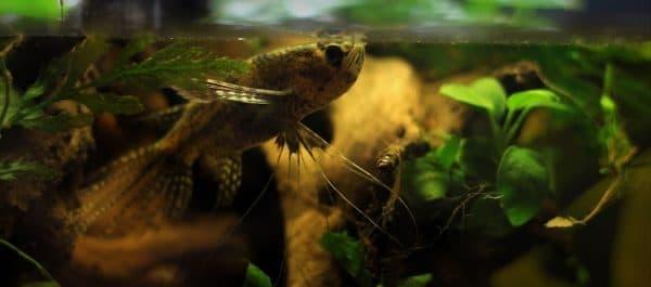 Пантодон аквариумная. Фото, видео и содержание.