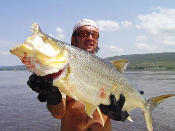 Речной монстр - тигровая рыба голиаф