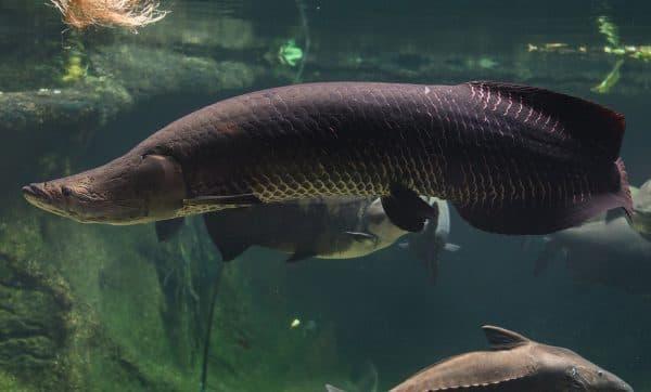 Рыба пираруку или рыба арапайма