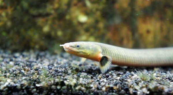 Рыба змея (Каламоихт калабарский) читайте статью