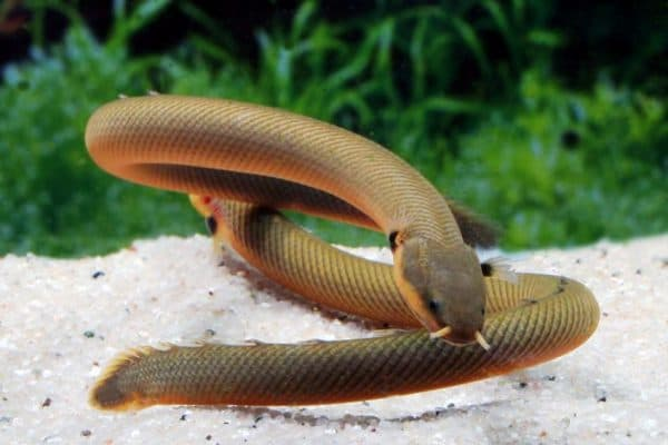 Рыба змея (Каламоихт калабарский)