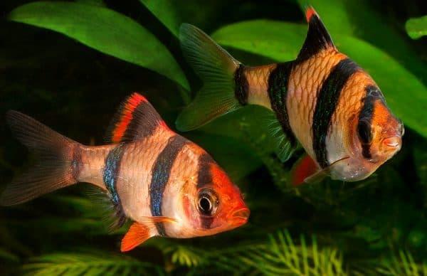 Суматранский барбус рыбка