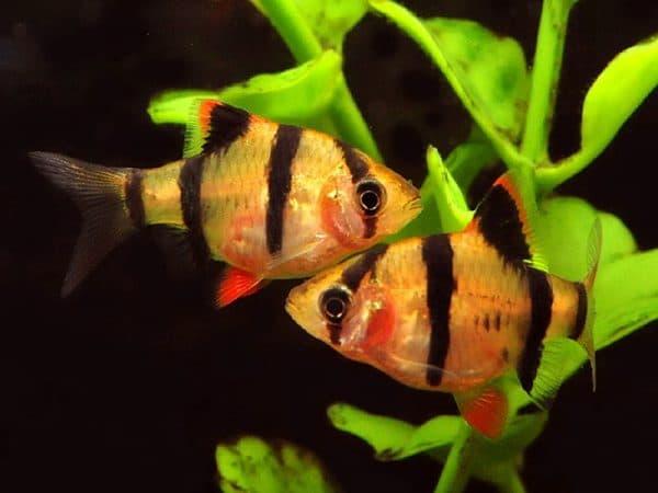 Суматранский барбус. Содержание, фото рыбки, видео, совместимость и разведение.