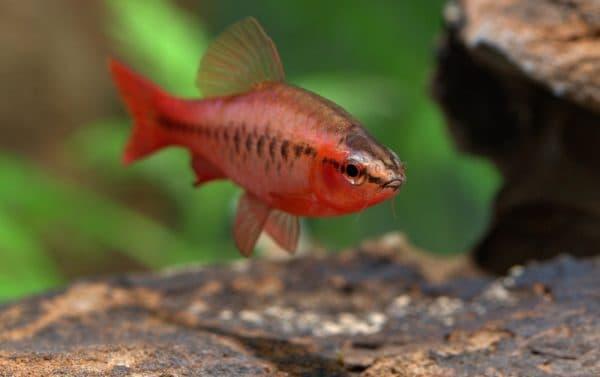 Вишневый барбус рыбка