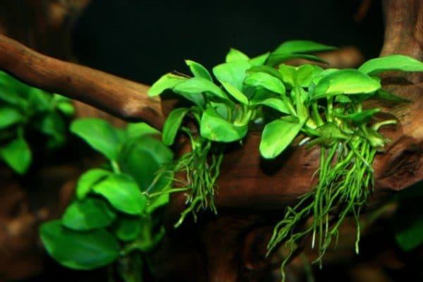 Анубиас - красивое растение в аквариуме