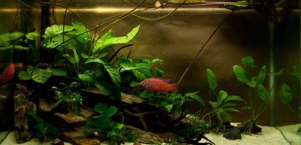 Анубиас - растение в аквариуме