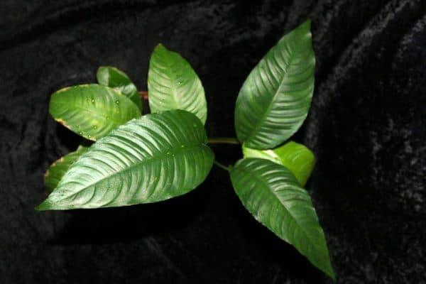 Анубиас разнолистный