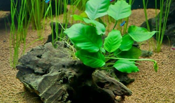 Анубиас в аквариуме читайте статью