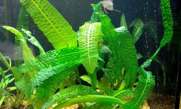 Апоногетон боивина в аквариуме