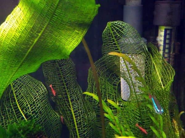 Апоногетон мадагаскарский в аквариуме