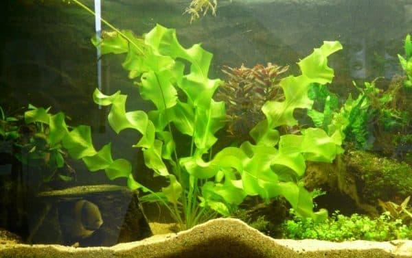 Апоногетон плавающий в аквариуме