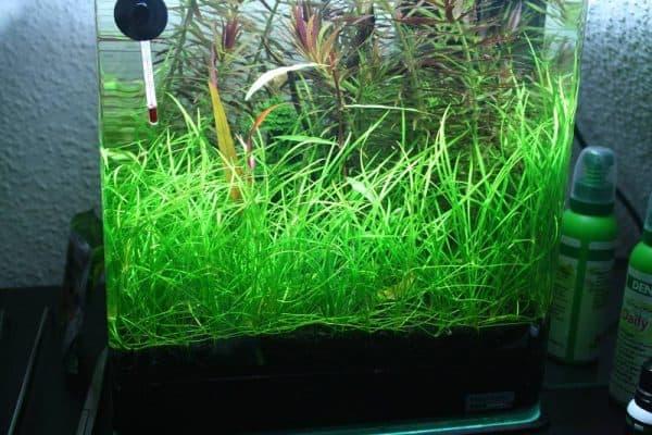 Эхинодорус нежный - прекрасное аквариумное растение