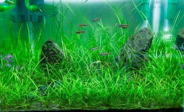 Эхинодорус нежный в аквариуме читайте статью