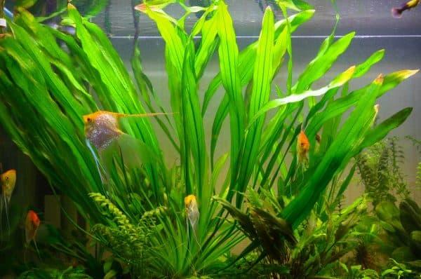 Эхинодорус в аквариуме