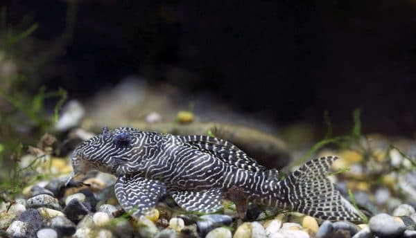 Гипанциструс - сомик в аквариуме