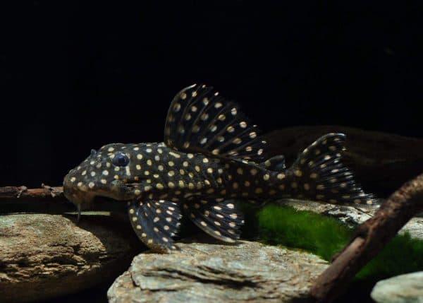 Гипанциструс - удивительный сомик в аквариуме