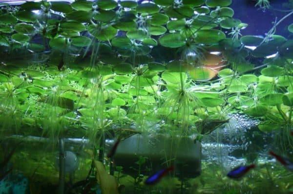 Лимнобиум - красивое аквариумное растение