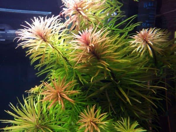 Людвигия инклината кубинская в аквариуме