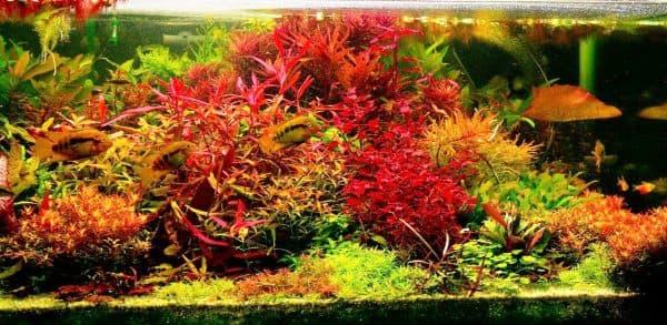 Людвигия супер ред в аквариуме